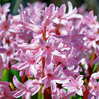 how to grow hyacinths m
